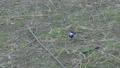野原でエサを探すハクセキレイ 11月 73039719