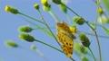 センダングサの蜜を吸うキタテハ 11月 73039726