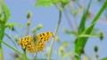 センダングサの蜜を吸うキタテハ 11月 73039730