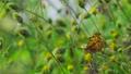 センダングサの蜜を吸うキタテハ 11月 73039732