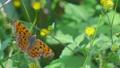 センダングサの蜜を吸うキタテハ 11月 73039734