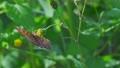 センダングサの蜜を吸うキタテハ 11月 73039738