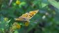センダングサの蜜を吸うキタテハ 11月 73039740