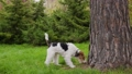 The dog sniffs the grass near the large tree trunk and the trunk itself. The pet rises to its full height, resting its front paws on the tree trunk. Close up. Slow motion. 73056477