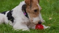 Fox Terrier dog lies in the park on the green grass. The pet chews on its toy a red rubber ball. Games with pets. Close up. Slow motion. 73056482