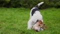 Funny shaggy fox terrier playing on a green lawn in a spring park. The dog, wagging its tail, is trying to grab a toy red ball with its teeth. Slow motion. Close up. 73056487
