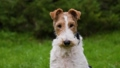 Tired fox terrier sits in a spring park on a blurred background of green grass. The pet looks ahead carefully, then looks away. Close up of a dog's muzzle. Slow motion. 73056490