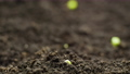 Growing Plants from Seeds in Spring Timelapse, sprouts germination in greenhouse 73091947