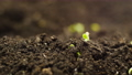 Growing Plants from Seeds in Time lapse, Fresh Green Cress Salad Sprout Timelapse. Nature spring season. Gardening agriculture food. 73091949