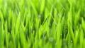 Fresh Green Grass with Rain Drops, Field of Young Wheat, Rye, Closeup Nature Macro 4k 73091950