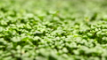Growing Plants from Seeds in Time lapse, Fresh Green Cress Salad Sprout Timelapse. Nature spring season. Gardening agriculture food. 73096626
