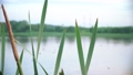 The bulrushes and flying midges 73098485