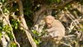 【動物】ニホンザルが木の上で餌を食べる様子 73114624