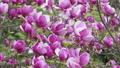 Spring Pink  magnolia blossoms 73123071