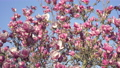 Pink magnolia tree blossom against blue sky 73123121