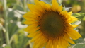 Yellow Sunflower Head Blooming. Organic farming Agricultural. Sunflower field. 73207443