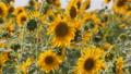 Sunflower field. Organic farming Agricultural. Yellow sunflower flowers. Harvest. 73207453