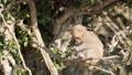 【動物】ニホンザルが木の上で餌を食べる様子 73217113
