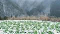 【冬】雪国で育つキャベツ畑の自然風景 農業 73217120
