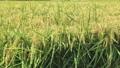 결실의 가을 바람에 흔들리는 벼 이삭 73232956