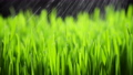 Fresh Green Grass with Rain Drops, Rainfall in Nature, Spring, Humid Climate, Dew Drops on Green Herb, Wheat, Rye 73241635