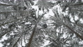 Low angle looking in European winter forest covered crown of tree in snow , snow falling in winter season wonderland in wild snowy forest nature scene. 73246968