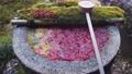 [秋天]柳屋觀音的花水 73264975