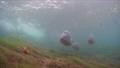 Common carp Cyprinus carpio freshwater fishes 73303581