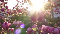 Sunshine Sun rays through pink flowers of a saucer magnolia tree in spring blossoms sun flare 73374930