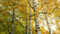 Golden, yellow and orange leaves on branches of birches in autumn season. 73375314