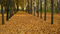 Alley in autumn city park with covering ground yellow leaves in sunny day. 73375316