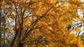 Golden, yellow and orange leaves on branches of mountain ash in autumn season. 73375317