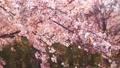櫻花吉野櫻花樹 73376954
