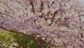 櫻花吉野櫻花樹 73376955