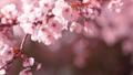 櫻花吉野櫻花樹 73377234