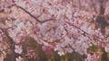 櫻花吉野櫻花樹 73377235