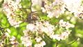 櫻花吉野櫻花樹 73377237