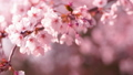 櫻花吉野櫻花樹 73377238