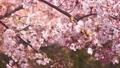 櫻花吉野櫻花樹 73377240