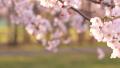 櫻花吉野櫻花樹 73377241