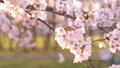 櫻花吉野櫻花樹 73377242