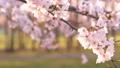 櫻花吉野櫻花樹 73377243