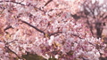 櫻花吉野櫻花樹 73377244
