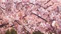 櫻花吉野櫻花樹 73377245