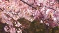 櫻花吉野櫻花樹 73377246