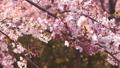 櫻花吉野櫻花樹 73377247