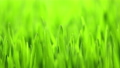 Growing Green Grass, Cereal Crop Time Lapse, Fresh Wheat Plant, Spring season 73399841