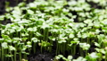 Plant Growing in Timelapse, Sprouts Germination, Green seeds Time Lapse, Spring and Summer Agriculture 73399844