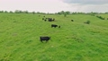 Aerial view of a herd of cows on a farm in Central Kentucky 73570468