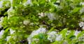 流蘇樹 ,四月雪,タッセルツリー、4月の雪、Tassel tree, April snow, 73592690